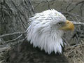 Decorah Eagles | The Raptor Resource Project brings you the Decorah Eagles from atop their tree at the fish hatchery in Decorah, Iowa.